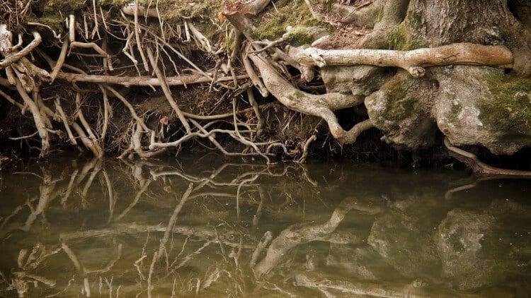 Древесные корни